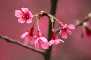 Sea of Pink Taiwan Cherries III by johnchan
