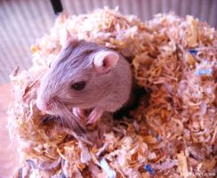 Gerbil out of its Nest by Velyne