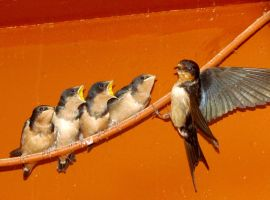 Barn Swallows Part II by Hurek
