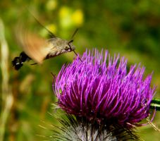 Hummingbird Hawk Moth 2 by Othersign