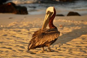 Galapagos pelican 1 by wildplaces