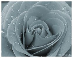 The Beauty of a Rose by Velou-ria