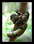 Tree Python Impersonator... by CaptBogart