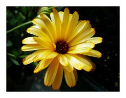 Yellow Daisy by theonlysong
