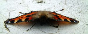Front view of small Tortoiseshell Butterfly by kairra