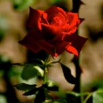 The Enchanted Rose by leashattack