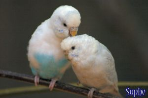 Love Birds by Sophe