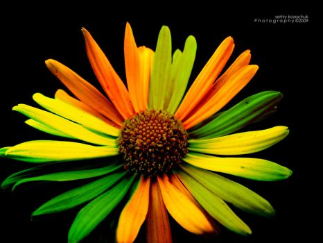 Four colors flower by frayart
