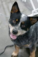 cattle dog smile by lokidayo