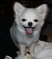 Smiling Chihuahua by paras2e