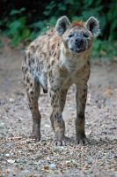[STOCK] [Hi-Res] Hyena by Seb-Photos