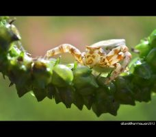 Crab Spider by allanddharmawan