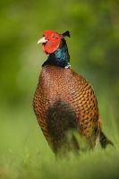 Common Pheasant by JMrocek