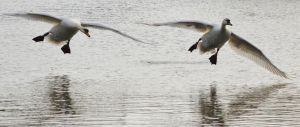 Swans 2014 4 6 by melrissbrook