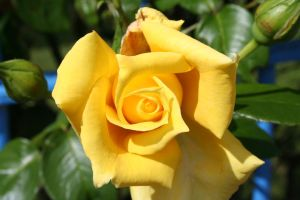 yellow rose stock1 by Aragwen-stock