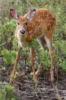 a Young Deer - Fawn 2 by slm0smy
