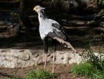Secretary Bird by austringer