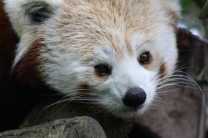 Red Panda 10 D by Cilmeron