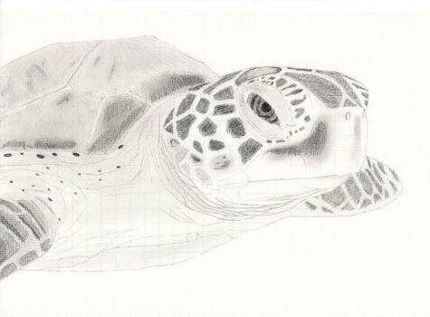 Sea Turtle by mercury-man