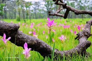 Siam Tulip With remains of wood. by OshimaruKung7285