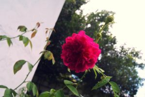 Flower - Red Rose by Jazht