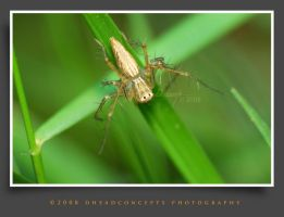 jumping spider 12 by dhead