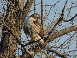 Red Tailed Hawk by shannamermaid
