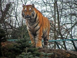tiger 01 by Pagan-Stock