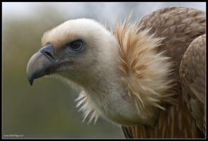 Griffin Vulture by mym8rick