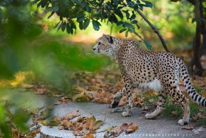 Cheetah by linneaphoto