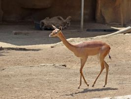 Gerenuk Female by Track-Maidens