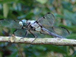 Close Dragonfly by ButterflyRitsuka
