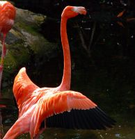 Cancun Flamingo by aurora900