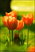Morning Light - Tulips by CecilyAndreuArtwork