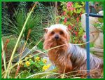 Bright Eyed Yorkie by Bonniemarie