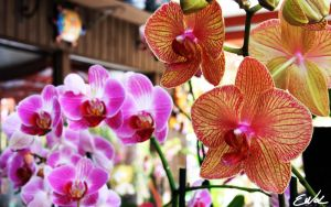 Orchids 2 by wolmers