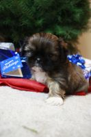 Shih Tzu Puppy 4 by SteeleShutter