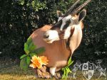 Gemsbok Wall Pedestal 1 by AutumnCreekTaxidermy