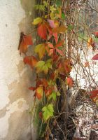 autumn vine by mimustock