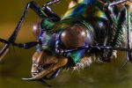 Spotted Tiger Beetle by mant01