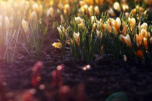 Yellow crocuses by TriinErg