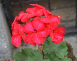 rote blume by Fotoback
