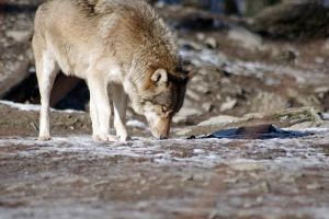 Wolf13 by Prinzess-Stock