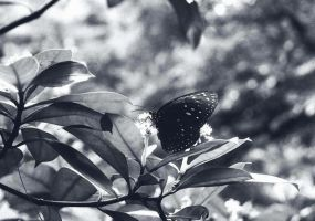 Butterfly by gombloh75