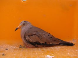 Croaking Ground Dove by Faunamelitensis