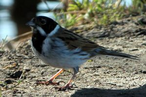 Chubby Reed bunting by karliosi
