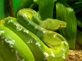 Green Tree Python by KabakaLion