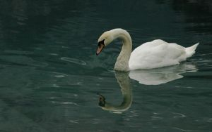 Swan by joeking5859