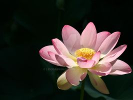 Lotus by LidoDarwin