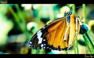 Butterflyyy by Janjua